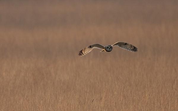 short eared owl by kyaka