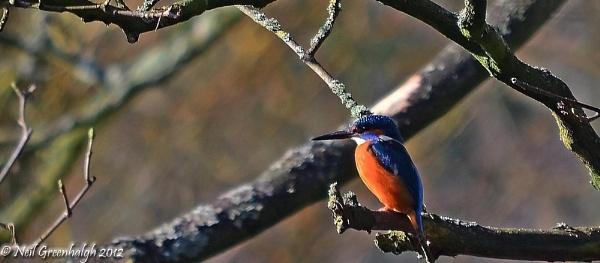 Kingfisher by greenie