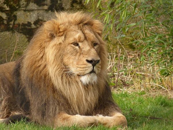 posing lion by Sam41