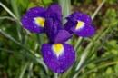 Blooming Iris!