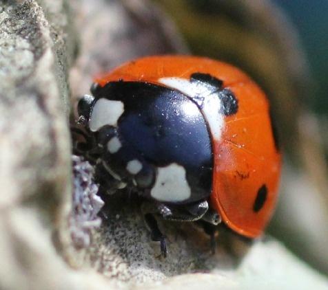 Ladybird by JadeClark