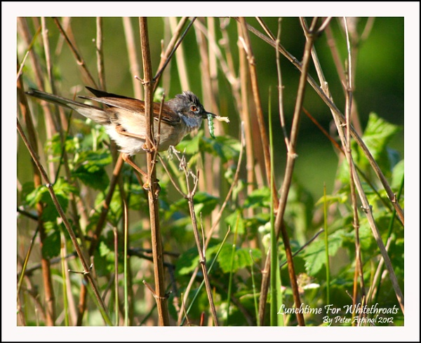 Lunchtime for Whitethroats by Scuttleatflordon