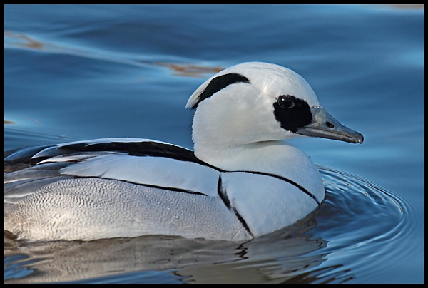 Smew by M_squared