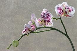 Phaleanopsis.....Arch of beauty.