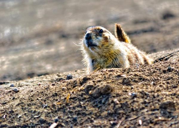 Prairie Dog by enricopardo