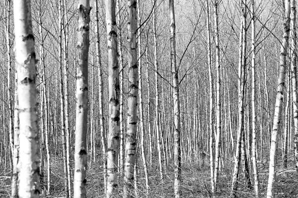 Birch Grove No 1 by HBJ