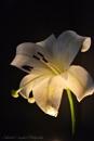 Lily Illuminated