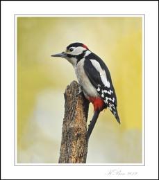 Nosey Woodpecker