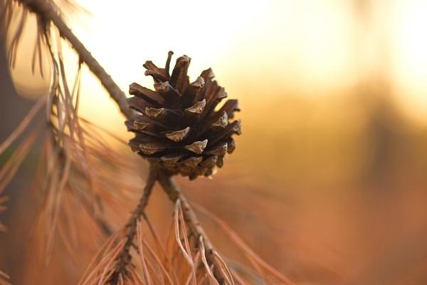 pinecone by danbaker1988