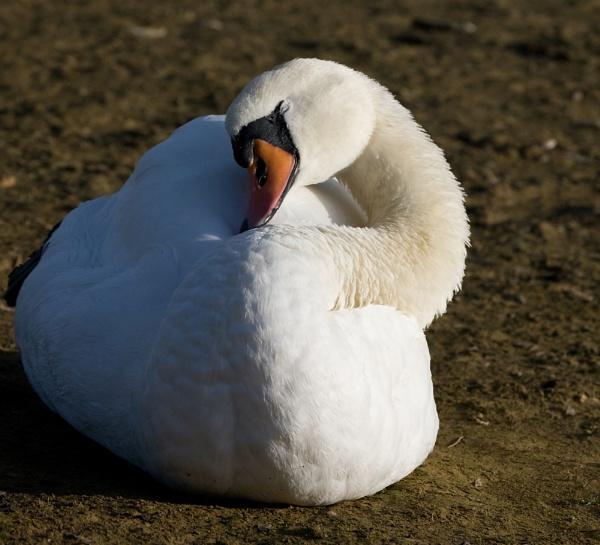 Sleeping swan soaking up the rays by michaelo