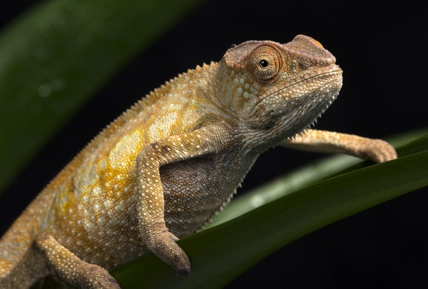 Young chameleon by Angi_Wallace