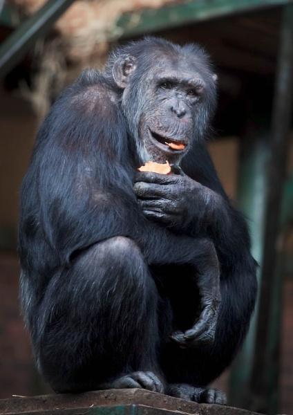 Chimpanzee by DanG