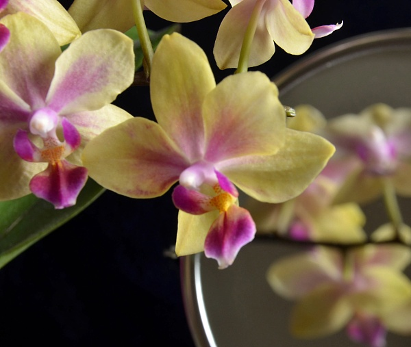 Orchid reflections. by ElaineGregg
