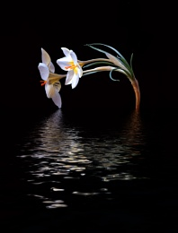 moonlight crocus
