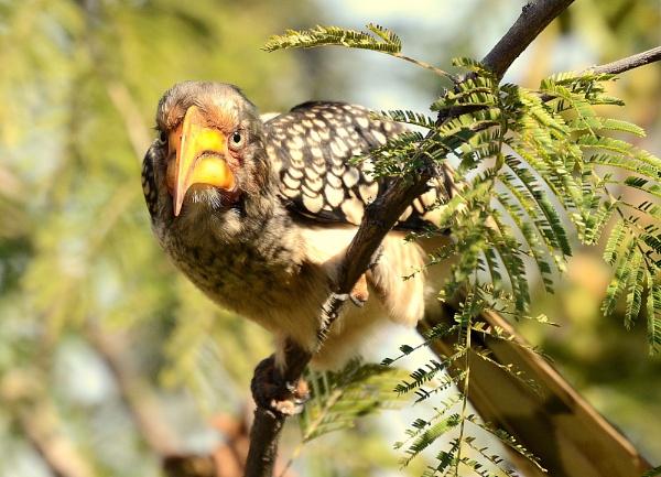 Hornbill by JoshReptiles