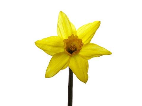 Daffodil by BobbyK