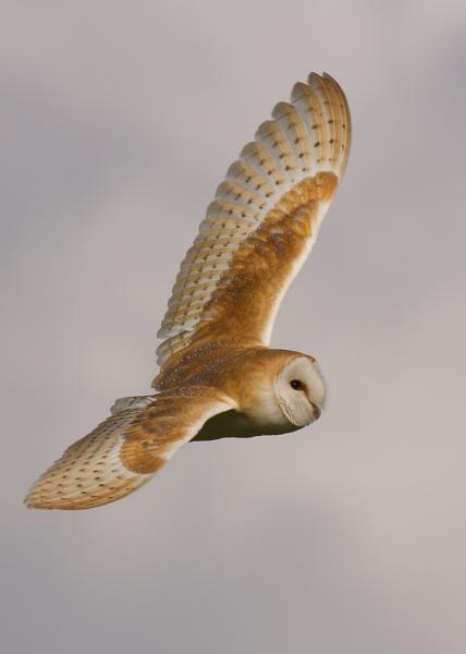 Mr Barn owl
