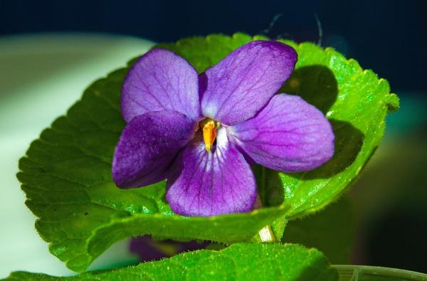Wild violet by dasher