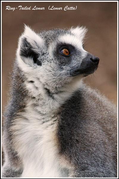 Portrait of a Lemur by shifter46