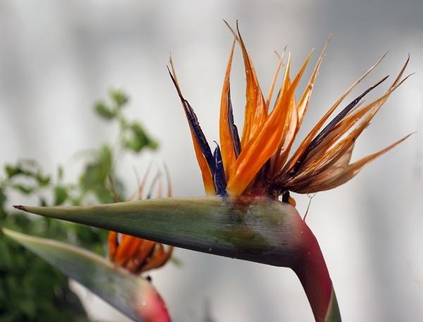 Firebird by clmsdeeming