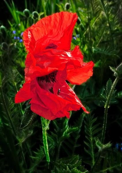 windblown poppy by thatmanbrian
