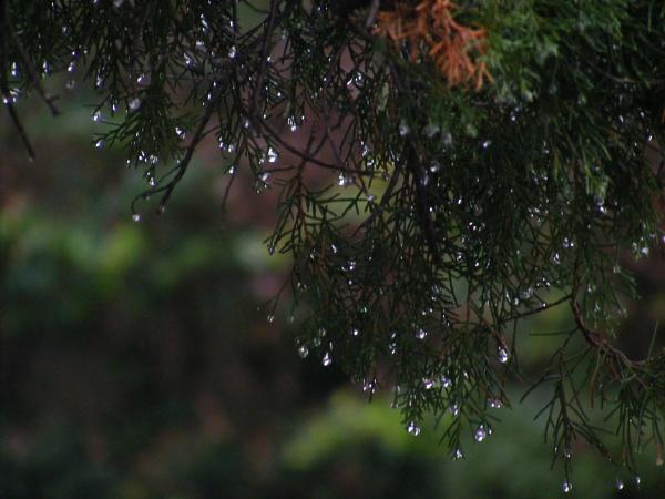 Rain on Cedar Tree by timduck