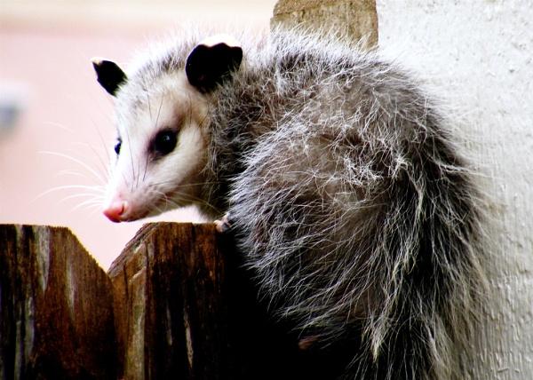 Possum by timduck