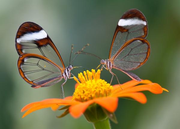 Glasswings feeding by livinglevels