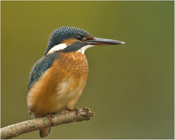 Kingfisher by MossyOak