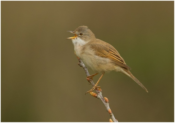 Whitethroat by MossyOak