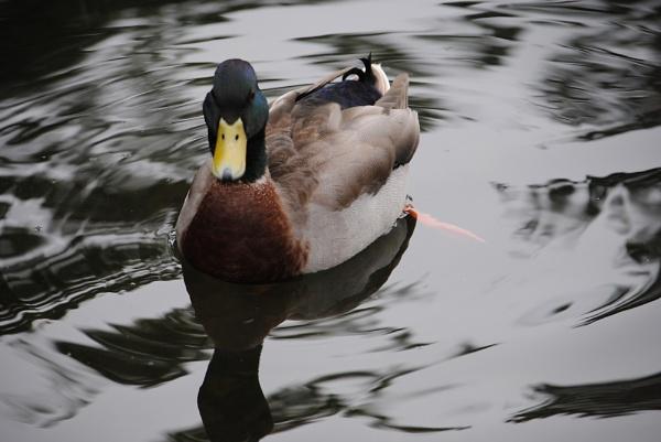 Duck by Pengarnedd