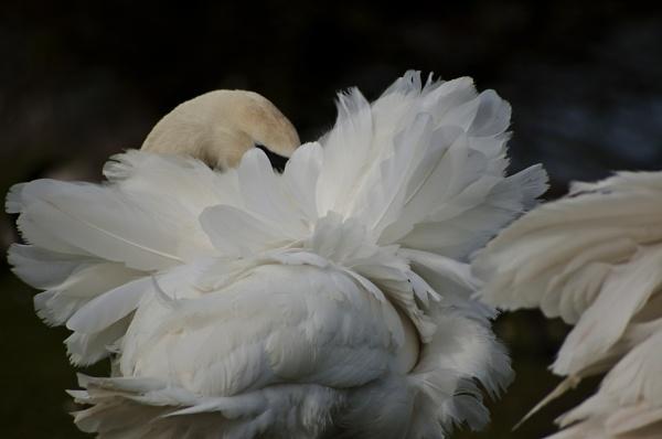 Ruffled Feathers by jka59