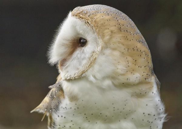Barn owl. by vanman49