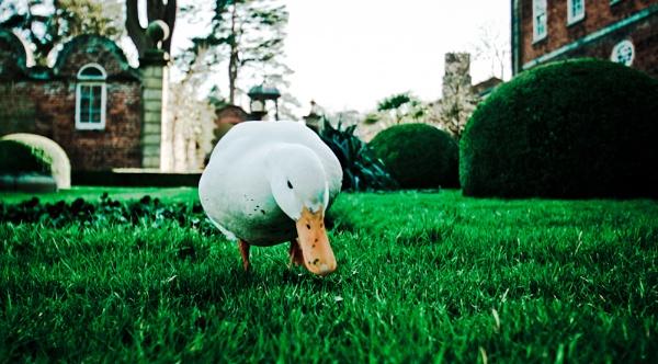 Quack Quack by JamesFarley