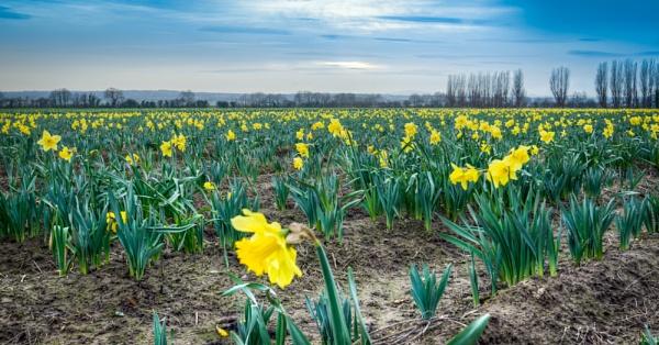 Daffodil Fields by JamesFarley