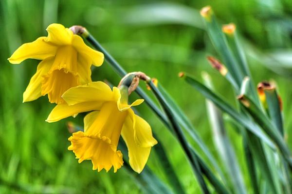 Daffodils by marklewis81