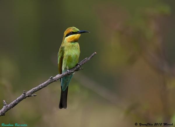 Rainbow Bee-eater by Ycmah