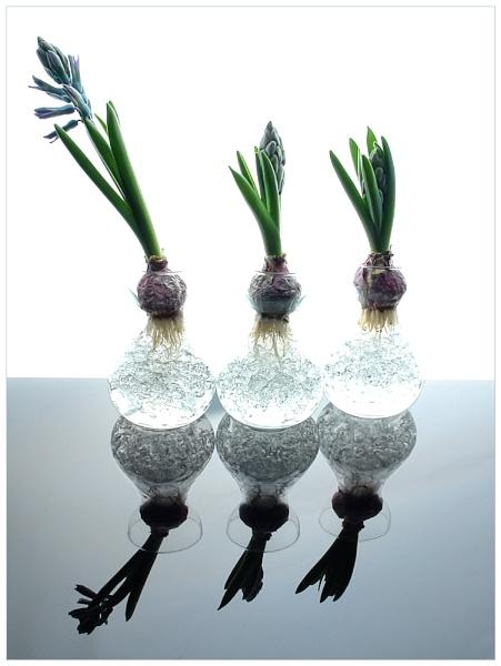 Hyacinths by cattyal