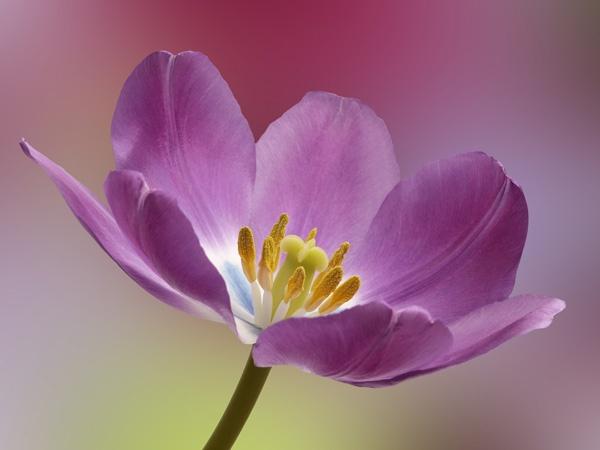 Purple Tulip by JenniCh