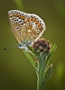 Common Blue by Paintman