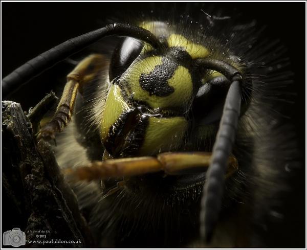 In a dark corner of the garden lurks a Queen Wasp... by Paul_Iddon