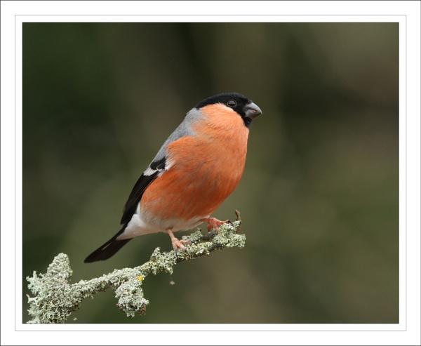 Bullfinch. by Graham_P