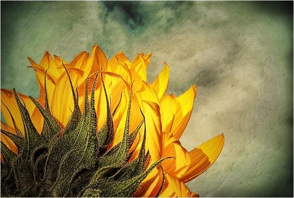 Sunflower by StickyW