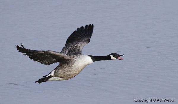 Canada goose ~ Branta canadensis by Adi7r