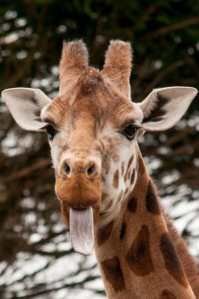 Giraffe by possumhead