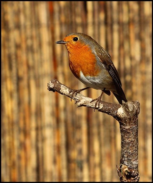 Robin by nglen