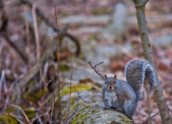 Squirrel by e_villeda
