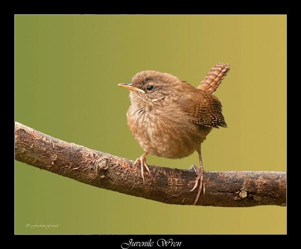 Wren 3 (Juvenile) by FeatherFriend