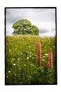 Lupin daisy field