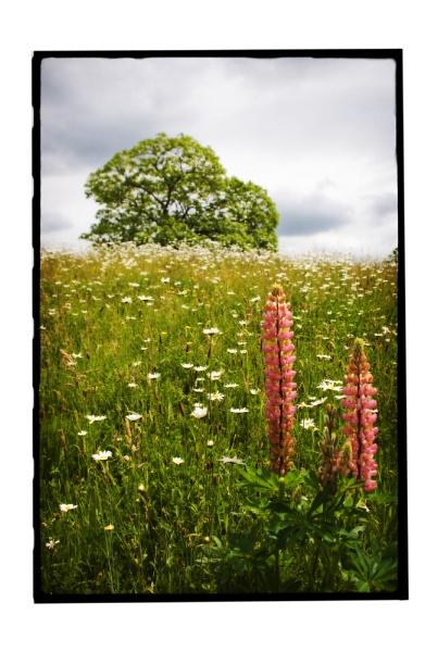 Lupin daisy field by ohlavache